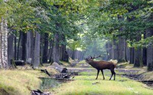 Un cerf, brâmant au centre d'une allée, en forêt de Rambouillet (77)