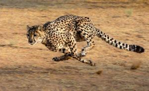 Le guépard est réputé pour sa vélocité : il fait des pointes à plus de 110 km/h, parcourant jusqu'à huit mètres par foulée et quatre foulées par seconde. Il peut atteindre les 70 km/h en seulement deux secondes, puis 90 km/h en une seconde de plus