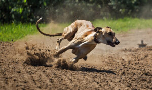 Le lévrier est le plus véloce de tous les chiens : le lévrier greyhound, le plus rapide du monde, peut atteindre les 70 km/h en 3 secondes