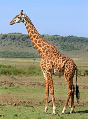 Une girafe, dans la savane