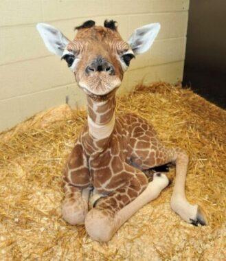 """En gros plan : la tête d'un """"girafeau"""" ou """"girafon"""" couché sur de la paille"""