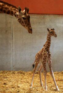 """Une girafe et son """"girafeau"""" ou """"girafon"""", dans un bâtiment de parc zoologique"""