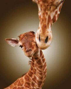 """Une girafe léchant la tempe de son """"girafeau"""" ou """"girafon"""""""