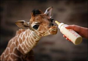 "Un ""girafeau"" ou ""girafon"" auquel un main tend un biberon de lait"