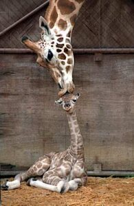 """Une girafe léchant le dessus du crâne de son """"girafeau"""" ou """"girafon"""""""