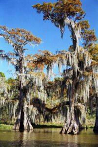 """Tillandsia usneoïdes : une plante également appelée """"La mousse espagnole"""", """"La fille de l'air"""", """"La barbe de vieillard"""" ou """"Les cheveux d'ange"""""""