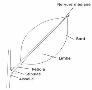 Les différentes parties d'une feuille