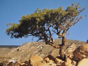 "Un balsamier ou ""arbre à myrrhre"""