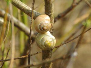 Deux escargots dans leur coquille, fixés sur le tronc d'un arbuste