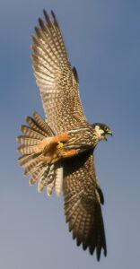 Un faucon hobereau