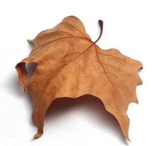 Une feuille morte d'arbre