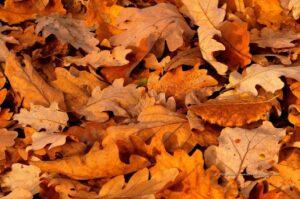 Des feuilles mortes (de chêne)