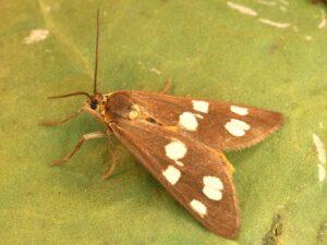 La ménagère, un papillon de jour