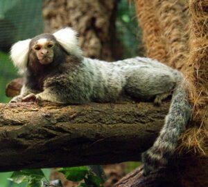 Un ouistiti à pinceaux blancs en captivité, étendu sur un tronc d'arbre
