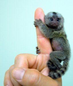 Un ouistiti pygmée accroché à un doigt d'homme