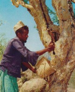 """La récolte de la résine de myrrhe sur un balsamier ou """"arbre à myrrhre"""""""