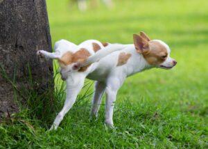 Un petit chien sur une pelouse, urinant le long d'un arbre