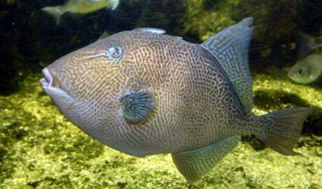 """Le """"baliste cabri"""" ou """"cochon de mer"""" également appelé """"baliste commun"""" ou """"baliste gris"""""""