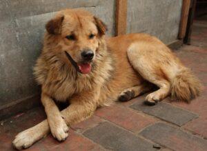 """Un """"corniaud"""" c'est à dire : un chien dont il est difficile, voire impossible, de distinguer clairement les origines"""