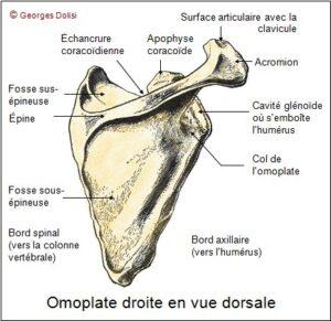 Vue dorsale de l'omoplate droite (© Georges Dolisi)