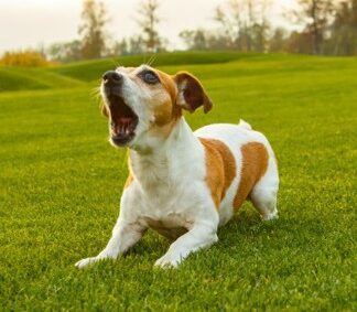 Un roquet : un petit chien hargneux aboyant pour un rien