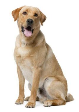 """Un clebs, klebs ou cleps (""""chien"""" en argot)"""