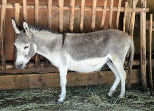Une mule
