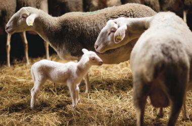 """""""Doux comme un agneau"""""""